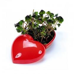 "Reklaminis augalas ""Flower Heart"""